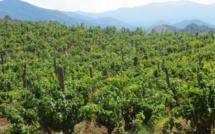 La Corse peut-elle devenir une future destination de l'oenotourisme ?