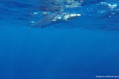 Requin peau bleue Bastia